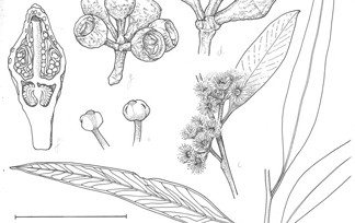 Eucalyptus illustration